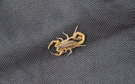 Arizona Bark Scorpion – Desk to Dirt
